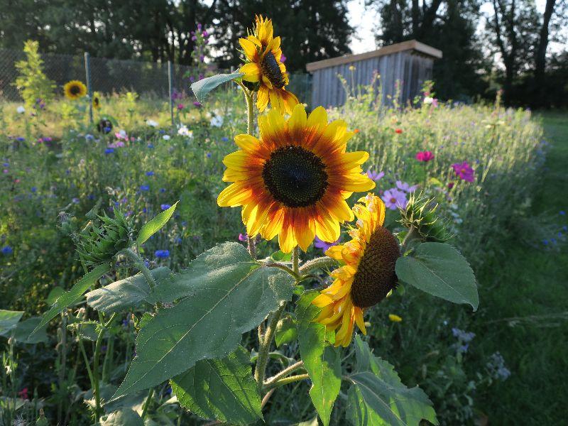 Sonnenacker Reisch Sonnenblumen